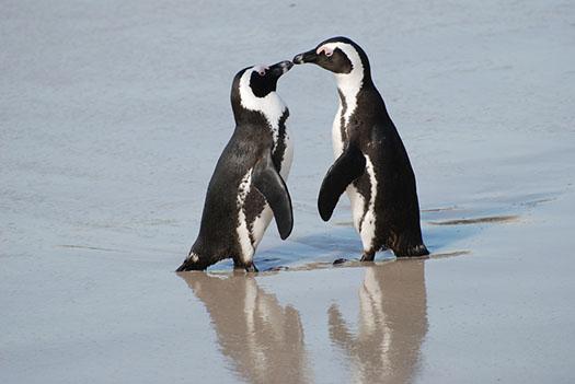 african-penguin-0203