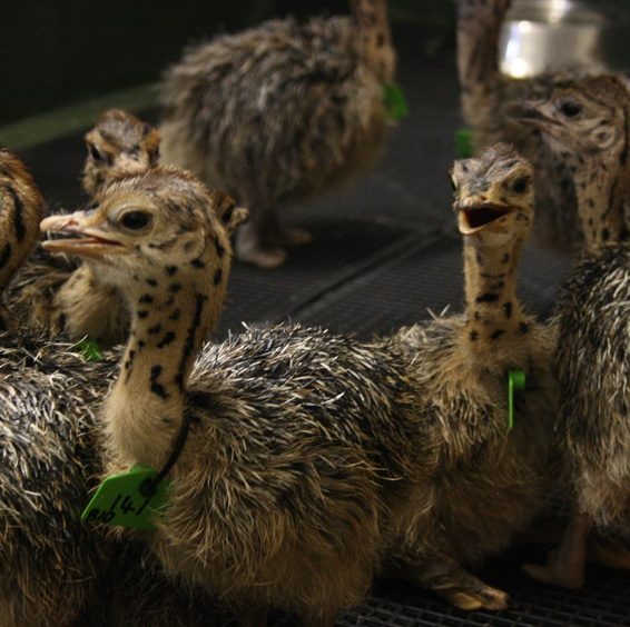 chicks 4